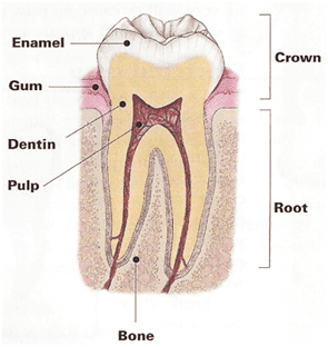 Root_Canals 1.png